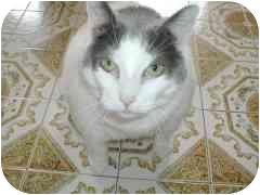 Domestic Shorthair Cat for adoption in Toronto, Ontario - Tiny