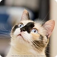 Adopt A Pet :: Calli - Fountain Hills, AZ