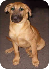 Brownie   Adopted Puppy   Vista, CA   German Shepherd Dog ...