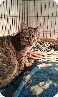 Domestic Shorthair Kitten for adoption in Santa Monica, California - Snuggles