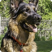 Adopt A Pet :: Harley - Wayland, MA