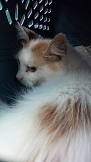 Domestic Shorthair Cat for adoption in Clarkson, Kentucky - Toodles