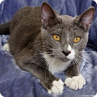 Adopt A Pet :: Hyperion - St Louis, MO