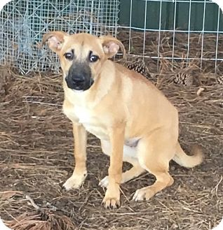 Shepherd (Unknown Type) Mix Puppy for adoption in Cairo, Georgia - Taffy