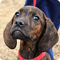 Adopt A Pet :: *Shiloh - PENDING - Westport, CT
