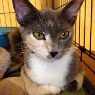 Domestic Mediumhair Cat for adoption in Hudson, Florida - Daphne