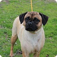 Adopt A Pet :: Puddin - Conway, AR