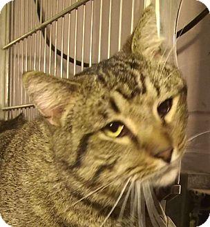 Domestic Shorthair Cat for adoption in El Cajon, California - Freddy