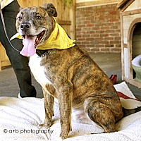Husky/Boxer Mix Dog for adoption in Los Angeles, California - Handsome Coffee-VIDEOS