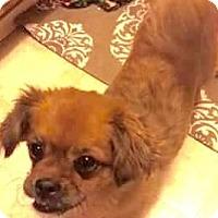 Adopt A Pet :: Chelsea - Gilbert, AZ