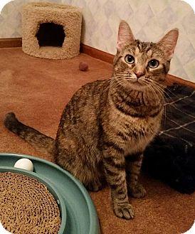 Domestic Shorthair Cat for adoption in Grand Rapids, Michigan - Noel