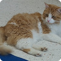 Domestic Mediumhair Cat for adoption in Chambersburg, Pennsylvania - Dingo