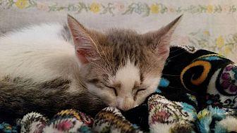 Domestic Shorthair Kitten for adoption in Ocala, Florida - Laurel