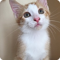 Adopt A Pet :: Cutie-patootie - Chattanooga, TN