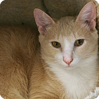 Domestic Shorthair Cat for adoption in Republic, Washington - Benton