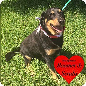Labrador Retriever/Shepherd (Unknown Type) Mix Dog for adoption in San Leon, Texas - Bandito