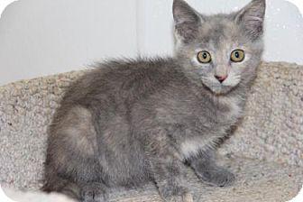 Domestic Shorthair Kitten for adoption in Greensboro, North Carolina - Jessie