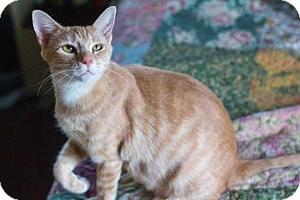 Domestic Shorthair Cat for adoption in Morgantown, West Virginia - Andy