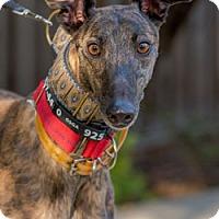 Adopt A Pet :: Cassie - Walnut Creek, CA
