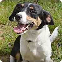 Adopt A Pet :: Bitsie~adopted! - Glastonbury, CT