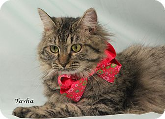Domestic Mediumhair Cat for adoption in Kerrville, Texas - Tasha