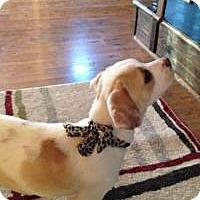 Adopt A Pet :: Sugar - Marlton, NJ
