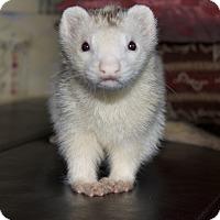 Adopt A Pet :: Jack - Chantilly, VA