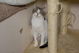 Domestic Shorthair Cat for adoption in Chicago, Illinois - Timothy
