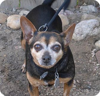 Chihuahua Mix Dog for adoption in Evans, Colorado - Shelly