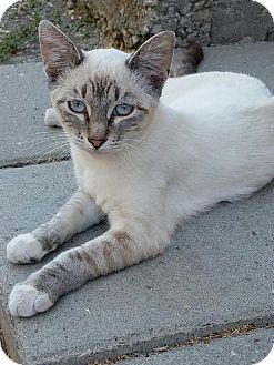 Siamese Cat for adoption in Lodi, California - Lilac