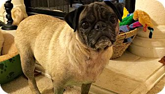 Pug Dog for adoption in Grapevine, Texas - Yum Yum