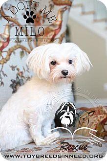 Maltese Dog for adoption in Frederick, Maryland - Milo