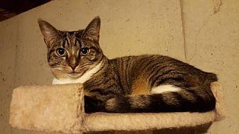 Domestic Shorthair Kitten for adoption in Florence, Kentucky - Rick
