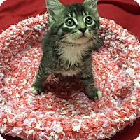 Domestic Mediumhair Kitten for adoption in Butner, North Carolina - Tulip