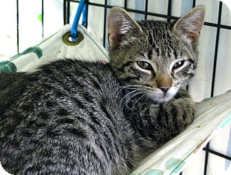 Domestic Shorthair Kitten for adoption in Lunenburg, Massachusetts - Monterey Jack