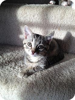 Domestic Shorthair Kitten for adoption in Union, Kentucky - Ari