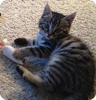 Domestic Shorthair Kitten for adoption in Modesto, California - Harriet