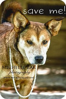 Labrador Retriever/German Shepherd Dog Mix Dog for adoption in Miami, Florida - Loba