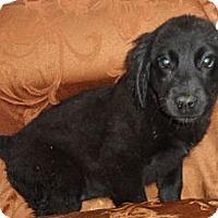 Adopt A Pet :: Mystery - Seattle, WA