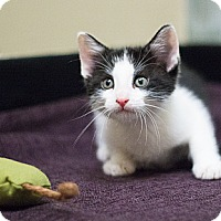 Adopt A Pet :: Hansel - Chicago, IL