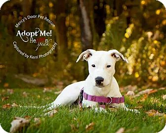 American Pit Bull Terrier/Dalmatian Mix Puppy for adoption in Medina, Ohio - Dulce