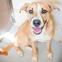 Anatolian Shepherd Mix Dog for adoption in Mineral Wells, Texas - Zen