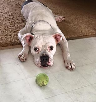 American Bulldog/Boxer Mix Dog for adoption in Crown Point, Indiana - Milo