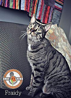 Domestic Shorthair Cat for adoption in Oceanside, California - Fraidy