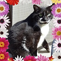 Domestic Shorthair Cat for adoption in Taylor Mill, Kentucky - Lizzie-BONDED with Rocky