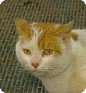 Domestic Shorthair Cat for adoption in Owenboro, Kentucky - BRADY!