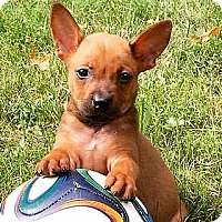 Feist/Pit Bull Terrier Mix Puppy for adoption in Staunton, Virginia - Sparta