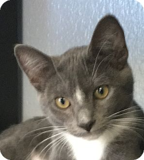 Domestic Shorthair Kitten for adoption in Winchester, California - Daffodil