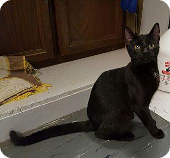 Domestic Shorthair Kitten for adoption in Maryville, Illinois - Patti Panther