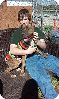American Pit Bull Terrier Mix Dog for adoption in Zanesville, Ohio - Rugby - ADOPTED!